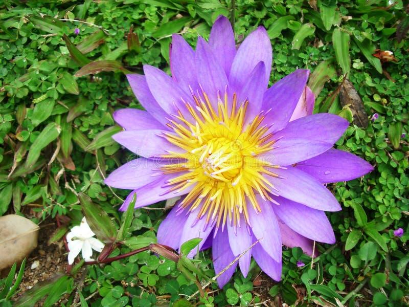 Jaskrawy lotosowy kwiat z purpura liśćmi i kolor żółty ześrodkowywamy obraz stock