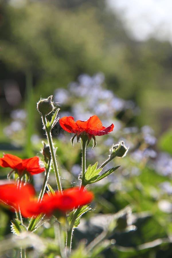 Jaskrawy mały czerwony szkarłat kwitnie i pączkuje na tle zdjęcia stock