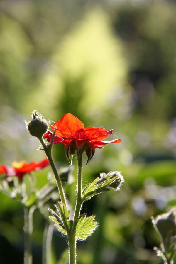 Jaskrawy mały czerwony szkarłatny kwiat i pączkuje na tle zdjęcia stock