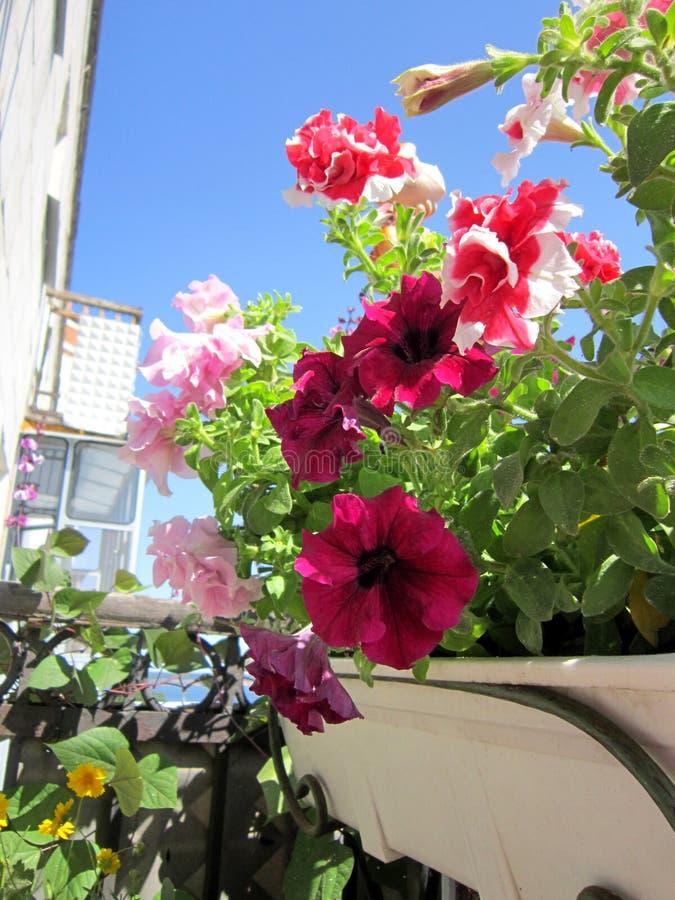 Jaskrawy mały ogród na balkonie Piękna grupa kolorowi petunia kwiaty zdjęcie stock
