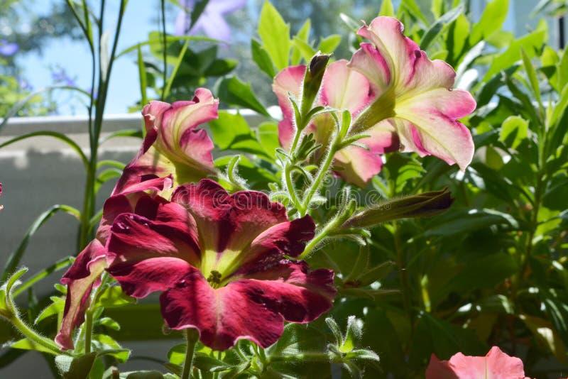 Jaskrawy mały ogród na balkonie Piękni Kolorowi petunia kwiaty zdjęcie royalty free