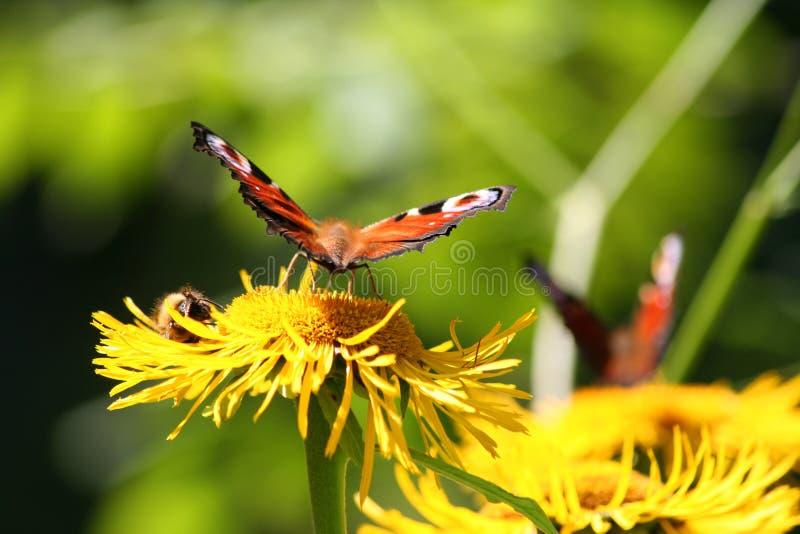 Jaskrawy motyl na żółtym kwiacie na zielonym tle zdjęcie royalty free