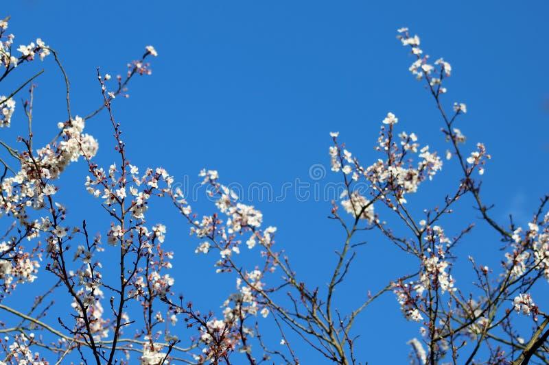 Jaskrawy niebieskie niebo i Czereśniowy okwitnięcie zdjęcie stock
