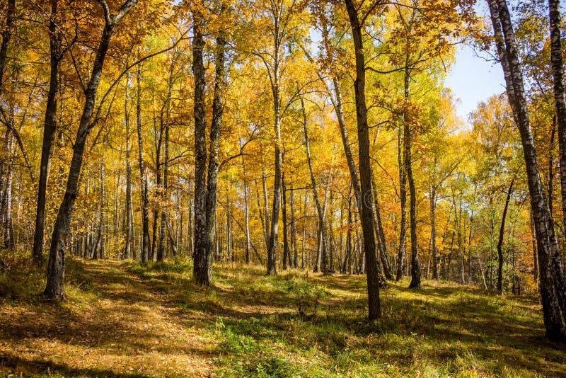 Jaskrawy piękny brzoza gaj w jesieni zdjęcie royalty free