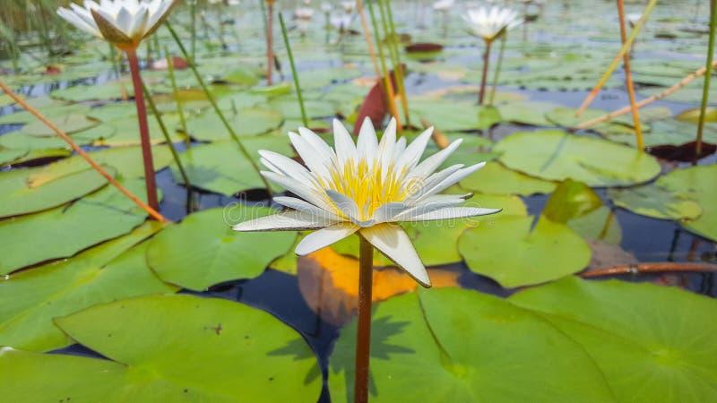 Jaskrawy piękny kwiat w delcie Botswanna obraz royalty free