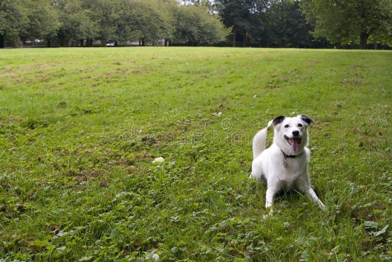 jaskrawy pies przyglądający się biel zdjęcie royalty free