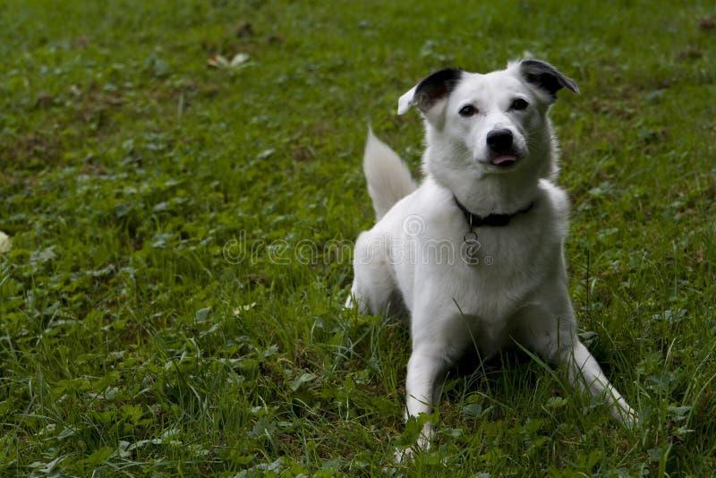 jaskrawy pies przyglądający się biel zdjęcia royalty free