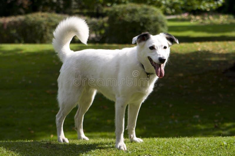 jaskrawy pies przyglądający się biel obraz royalty free
