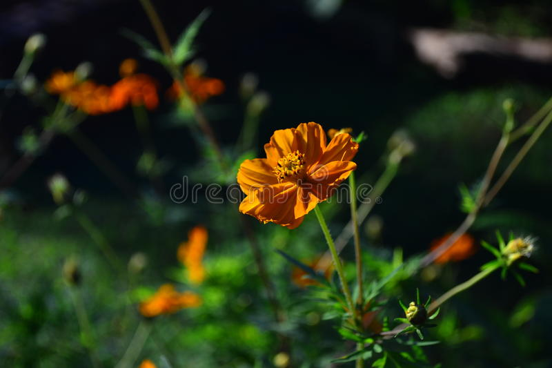 Jaskrawy pogodny pomarańczowy koloru kwiat obrazy stock