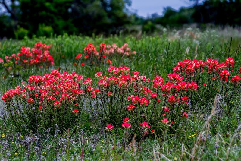 Jaskrawy Pomarańczowy grono indianina Painbrush Wildflowers w pobocze łące w Oklahoma. obraz royalty free