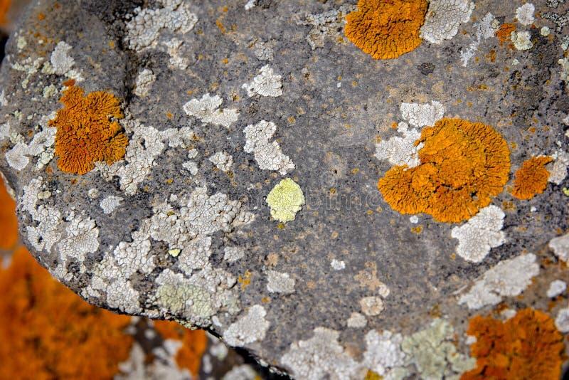 jaskrawy pomarańczowy liszaj na wielkim kamieniu fotografia royalty free