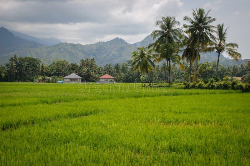 Jaskrawy przeciw tłu góry - zielony ryżu pole z kokosowymi drzewami i wioska domami Indonezja, Sumatra fotografia stock