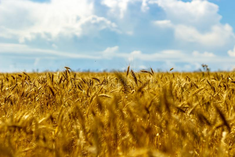 Jaskrawy pszeniczny pole w słońc światłach zdjęcia stock