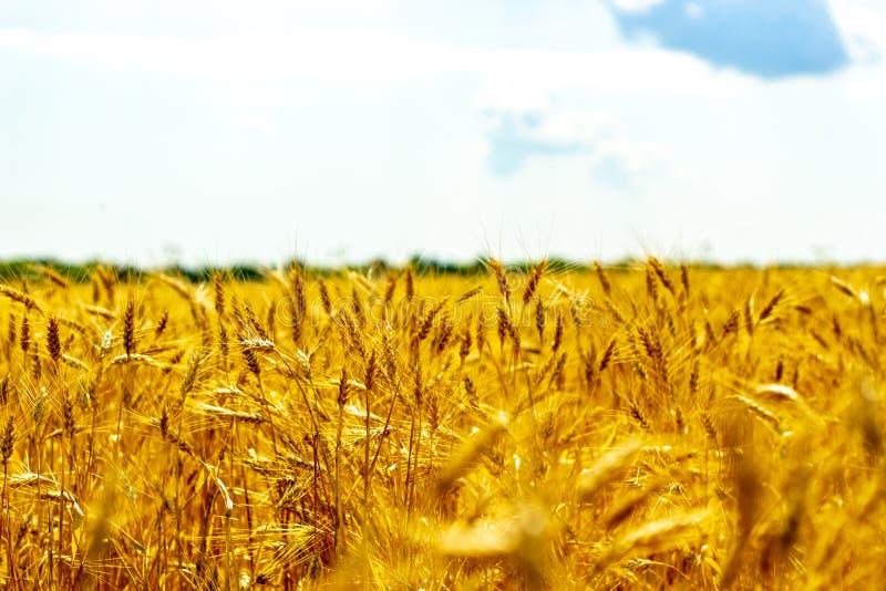 Jaskrawy pszeniczny pole w słońc światłach obrazy royalty free