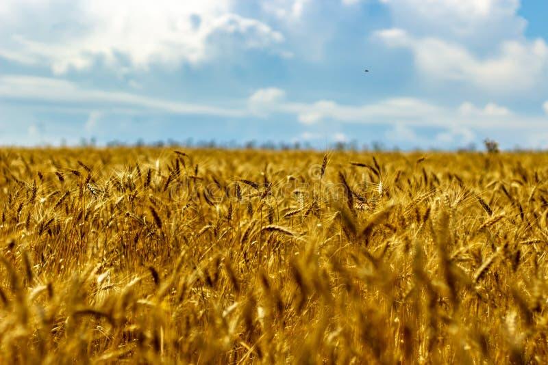 Jaskrawy pszeniczny pole w słońc światłach obraz royalty free