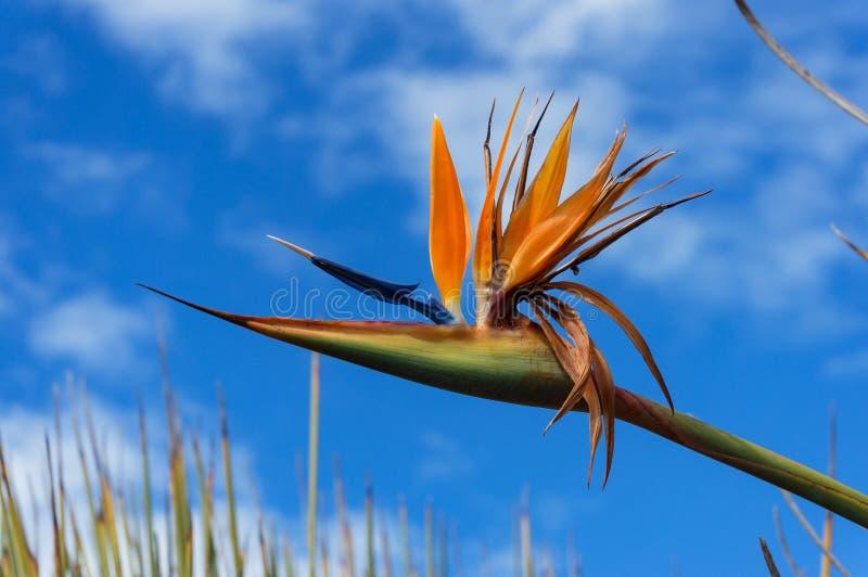 Jaskrawy ptak raju kwiatu głowa przeciw niebieskiemu niebu na tle zdjęcia stock