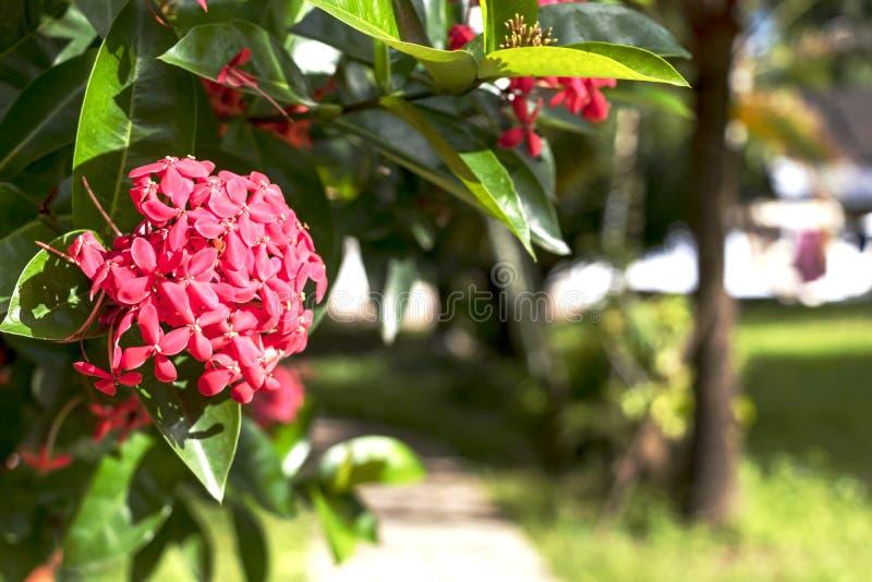 Jaskrawy różowy śliczny kolor Ixora kwitnie, dżungla płomienia lub bodziszka dżungli drewna lub fotografia stock