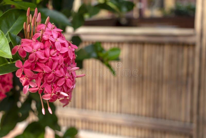 Jaskrawy różowy śliczny kolor Ixora kwitnie, dżungla płomienia lub bodziszka dżungli drewna lub zdjęcie stock