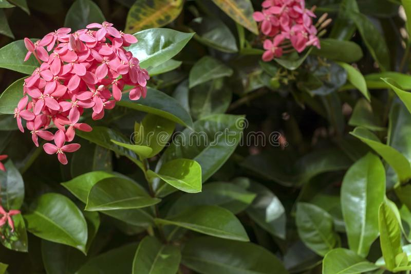 Jaskrawy różowy śliczny kolor Ixora kwitnie, dżungla płomienia lub bodziszka dżungli drewna lub zdjęcie royalty free