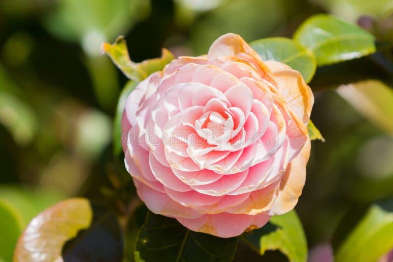 Jaskrawy różowy Japoński kameliowy kwiat obraz stock