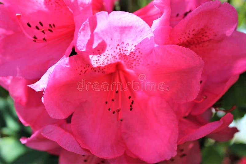 Jaskrawy różowy rododendronowy kwiatu zakończenie up zdjęcie royalty free
