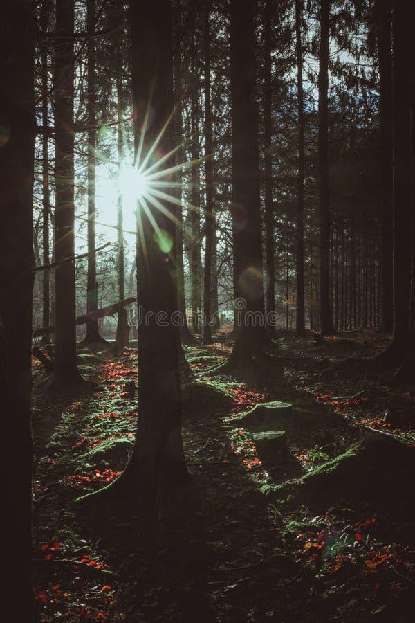 Jaskrawy słońce zaświeca w górę ciemnego zima lasu, Dani obraz stock