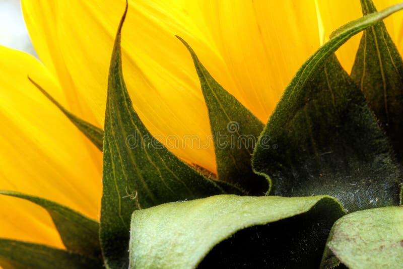 Jaskrawy słonecznika zakończenie up na lekkim tle zdjęcia stock