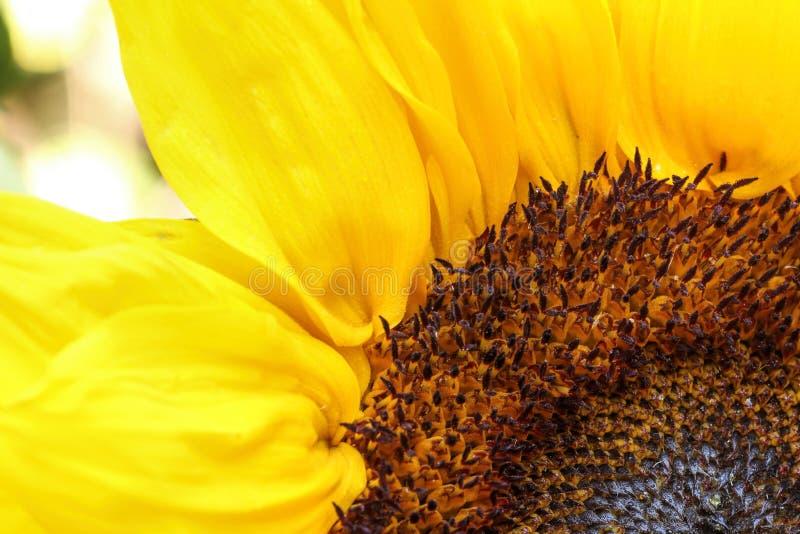 Jaskrawy słonecznika zakończenie up na lekkim tle obrazy royalty free