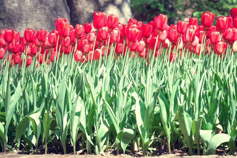 Download Jaskrawy Wałkoni Się Tulipany Zdjęcie Stock - Obraz złożonej z burgundy, tulipan: 53781160