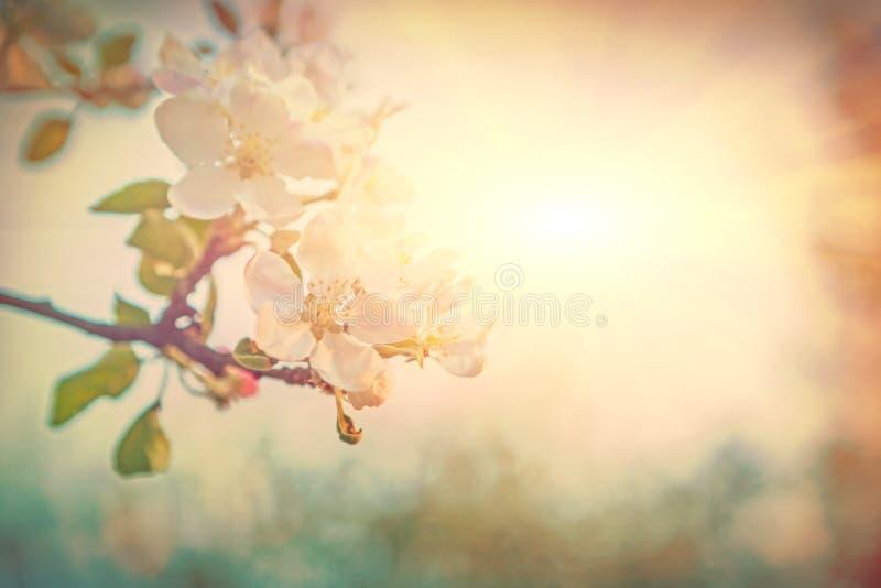 Jaskrawy widok na kwitnąć jabłoni kwitnie na zamazanym mgłowym su zdjęcie stock