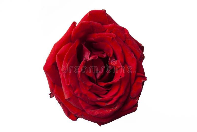 Jaskrawy wzrasta? czerwona r??a Bia?y t?o r??ani potomstwa kwiat obraz stock