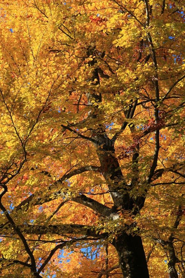 Jaskrawy zaświecający złoty ulistnienie bukowy drzewo obraz stock