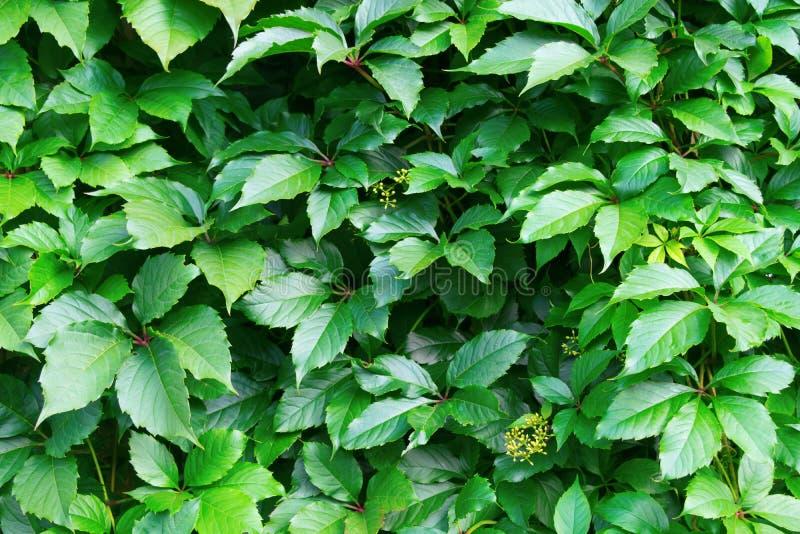 jaskrawy - zieleń liście dekoracyjni winogrona obraz royalty free