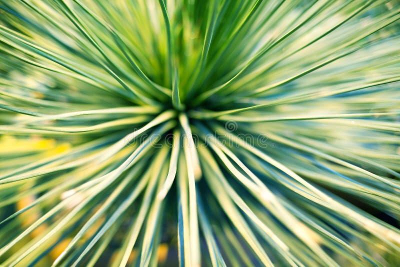 Jaskrawy - zieleń liście drzewko palmowe lub ornamentacyjny houseplant zamazywali tła zbliżenie makro- obraz royalty free