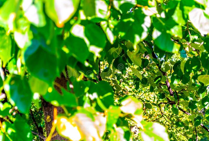 Jaskrawy - zieleń opuszcza w słońcu i tle w bokeh na gałąź przedpolu zdjęcia stock