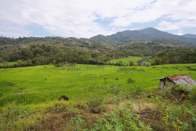 Jaskrawy - zieleni ryż pola zdjęcie stock