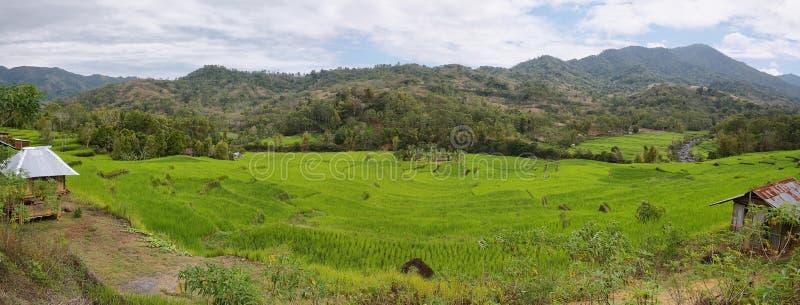 Jaskrawy - zieleni ryż pola obraz royalty free