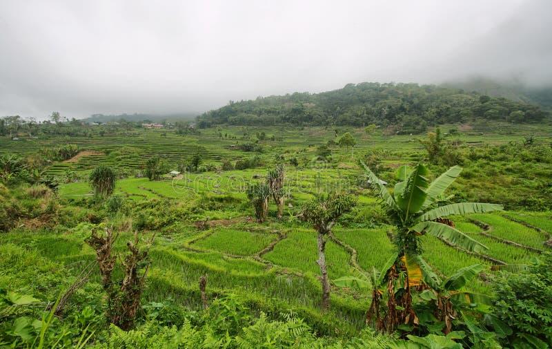 Jaskrawy - zieleni ryż pola z palmą zdjęcia stock