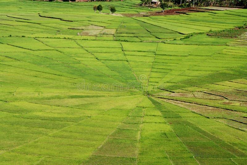 Jaskrawy - zieleni ryżowi pająk sieci pola obrazy royalty free