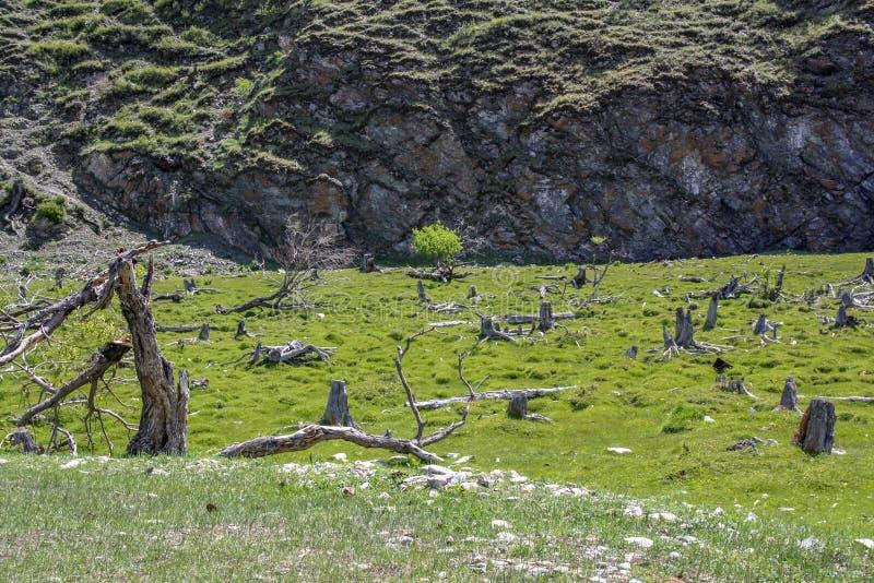 Jaskrawy - zielona halizna z koślawymi dorośnięć drzewami obraz stock