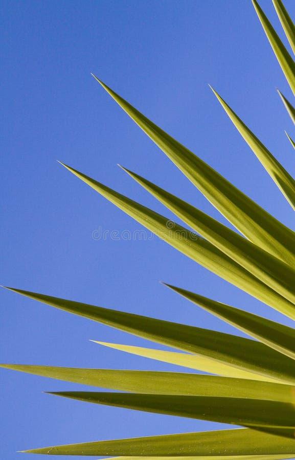 Jaskrawy - zielona jukka Opuszcza w świetle słonecznym fotografia royalty free