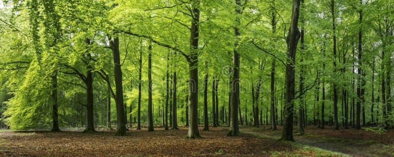 Jaskrawy - zielona wiosna w bukowym lesie, Epe, Veluwe, Gelderland holandie zdjęcia stock