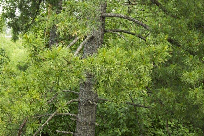Jaskrawy - zielone puszyste gałąź modrzewiowy drzewo Naturalny pi?kno elegancka modrzewiowego drzewa ga??zka Gałąź młody modrzew, obrazy stock