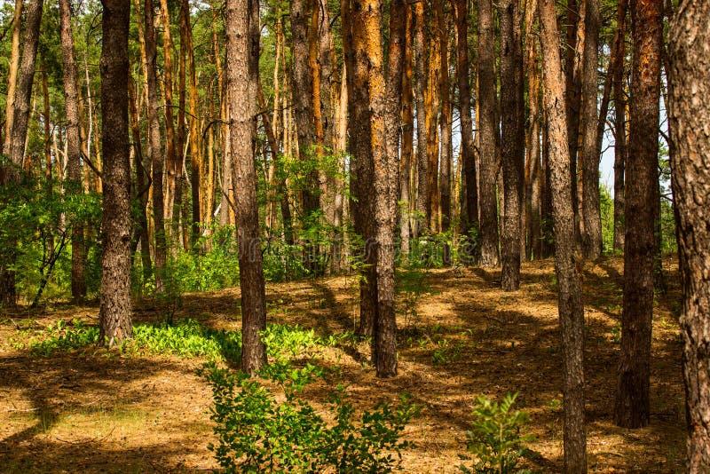 Jaskrawy - zielone rośliny ozdabiają lato sosny las zdjęcie royalty free