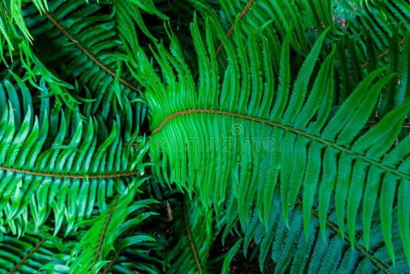 jaskrawy - zielonego liścia liści paprociowy tropikalny tło obrazy stock