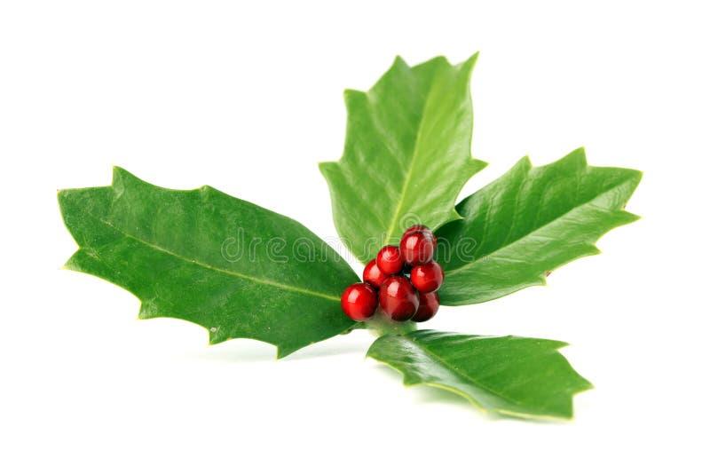 Jaskrawy - zielony Bożenarodzeniowy holly z czerwonymi jagodami odizolowywać obrazy stock