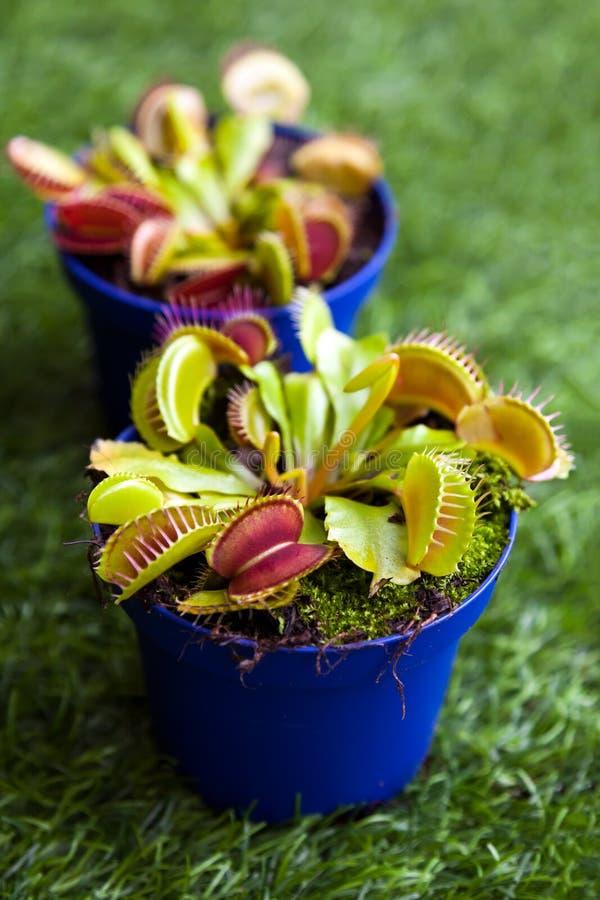 Jaskrawy - zielony Dionaea muscipula zdjęcie royalty free