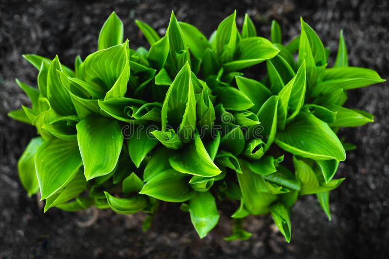 Jaskrawy - zielony krzak hosta rośliny dekoracyjna zdjęcia stock