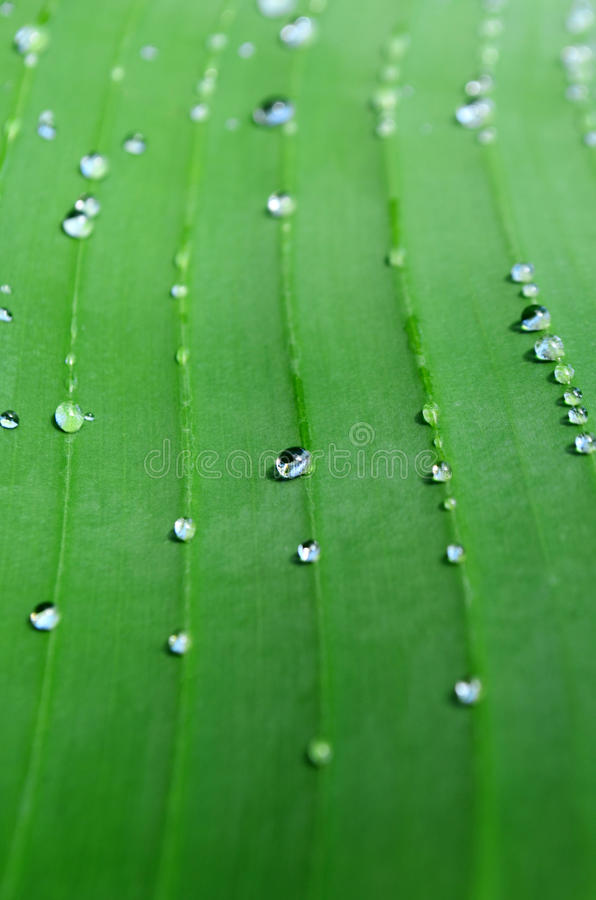 Jaskrawy - zielony liść bananowa palma z żyłami i deszcz kroplami Cl zdjęcia royalty free