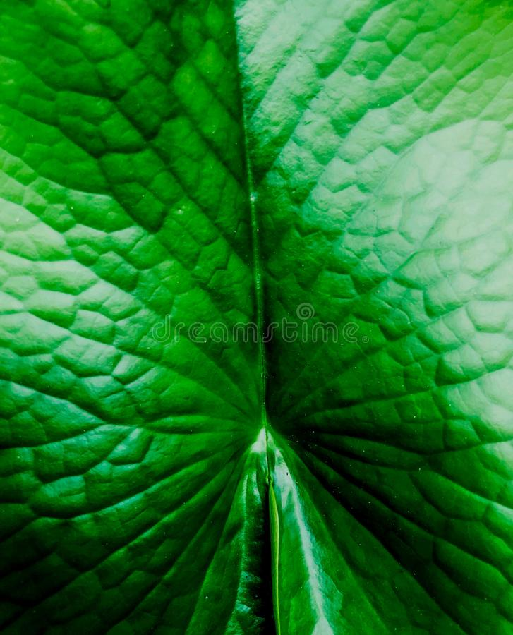 Jaskrawy - zielony lotosowy liść w basenie obraz stock